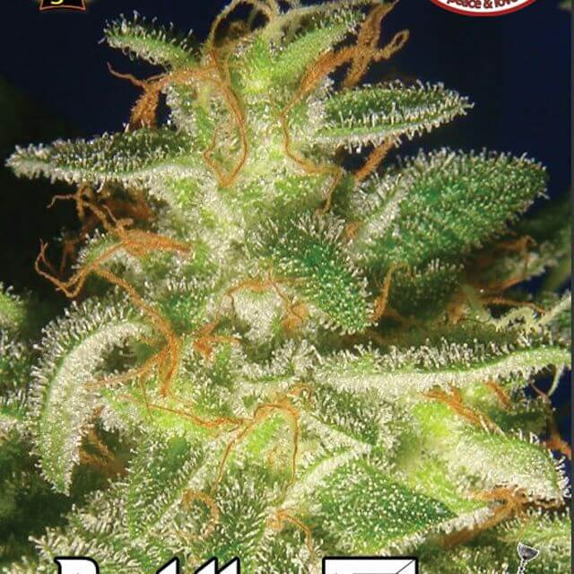 Buy The Big Buddha Seeds Buddha Tahoe FEM