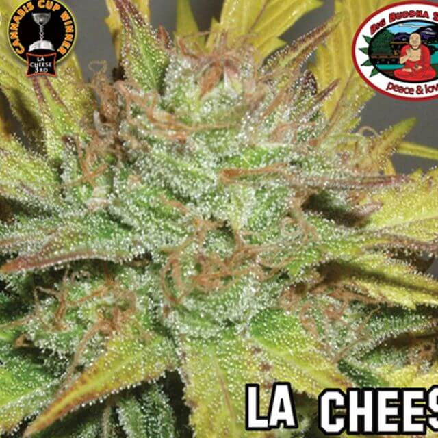 Buy The Big Buddha Seeds LA Cheese FEM