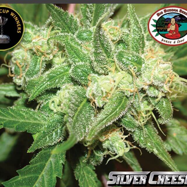 Buy The Big Buddha Seeds Silver Cheese FEM