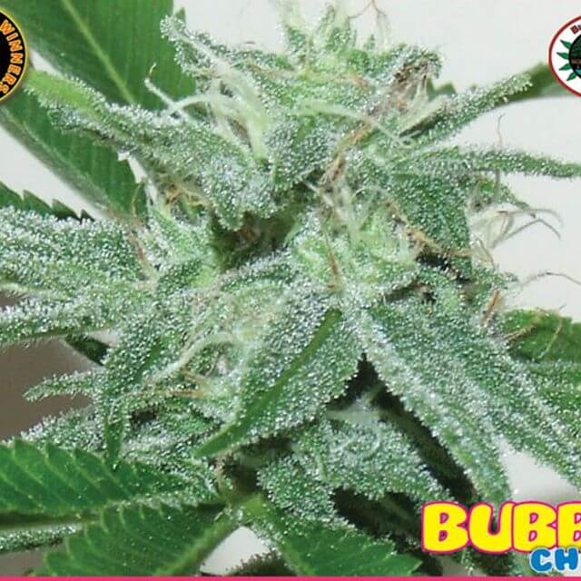 Buy The Big Buddha Seeds Bubble Cheese FEM