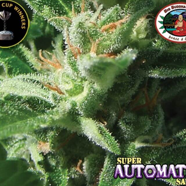 Buy The Big Buddha Seeds Buddha Haze Automatic FEM
