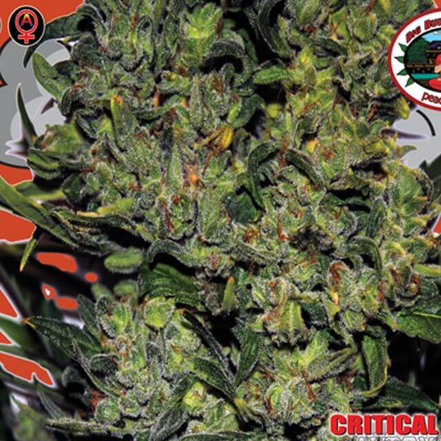 Buy The Big Buddha Seeds Critical Mass Automatic FEM
