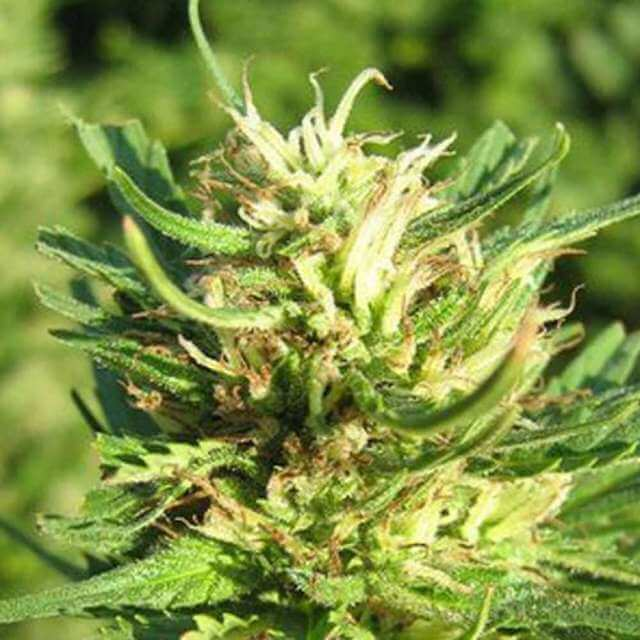 Buy Nirvana Seeds Super Skunk REG