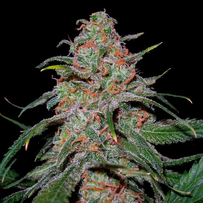 Buy DNA Genetics Seeds Lemon Skunk FEM