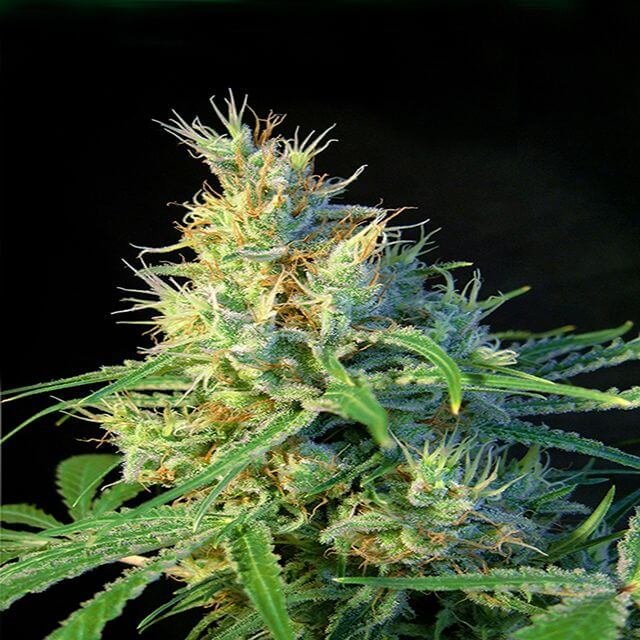Buy Sweet Seeds Psicodelicia FEM