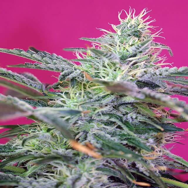 Buy Sweet Seeds  Sweet Cheese Auto FEM