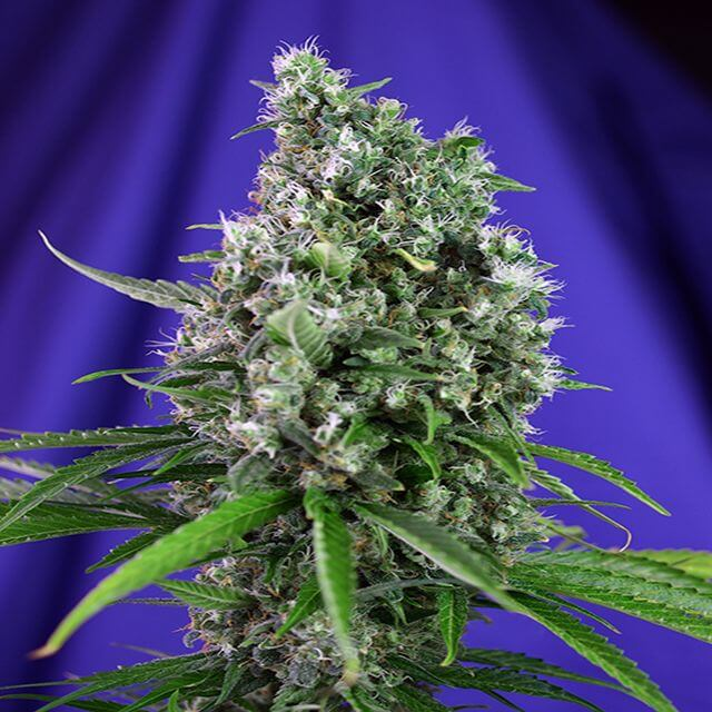 Buy Sweet Seeds Auto Sweet Trainwreck FEM