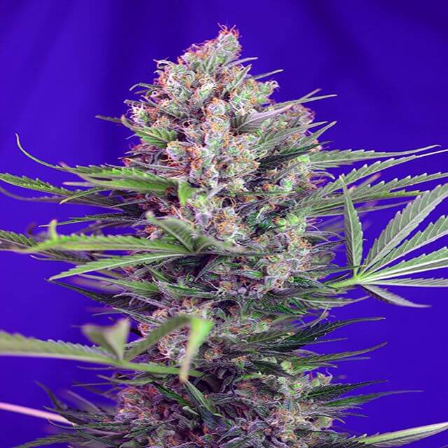 Buy Sweet Seeds Cream Mandarin Fast FEM