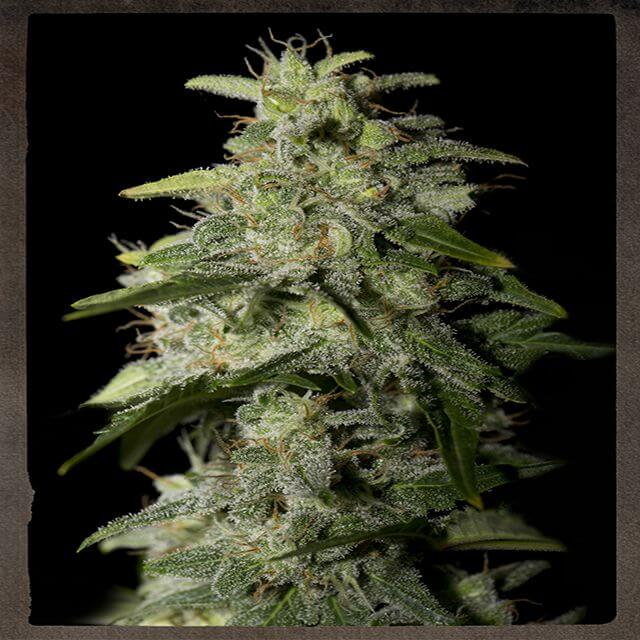 Buy Strain Hunters Seeds Bank Money Maker FEM