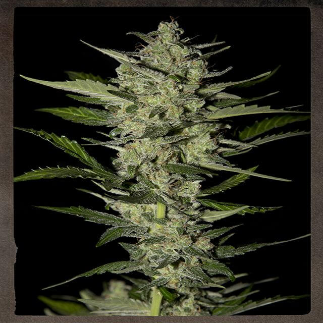 Buy Strain Hunters Seeds Bank Strain Hunters Flower Bomb Kush FEM