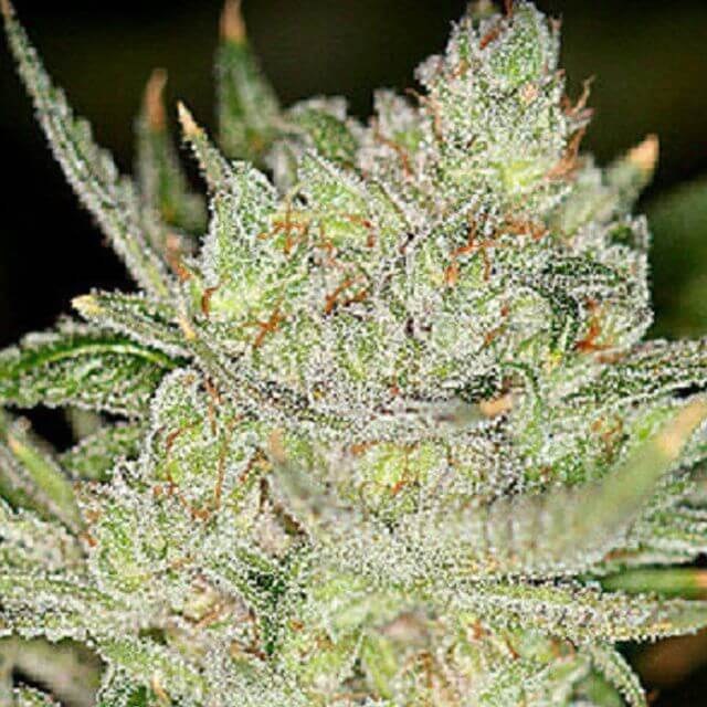 Buy Sin City Seeds Night Fire OG REG