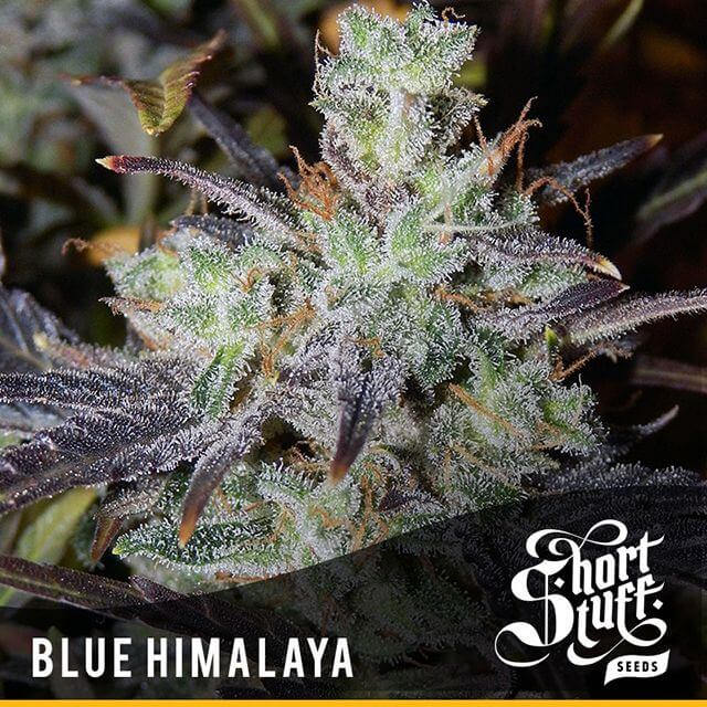 Buy Short Stuff Autoflowering Seeds Auto Blue Himalaya REG