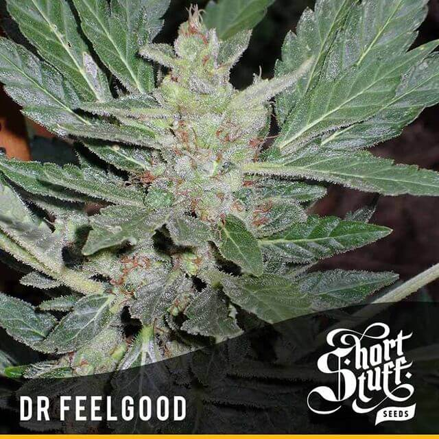 Buy Short Stuff Autoflowering Seeds Dr Feelgood REG