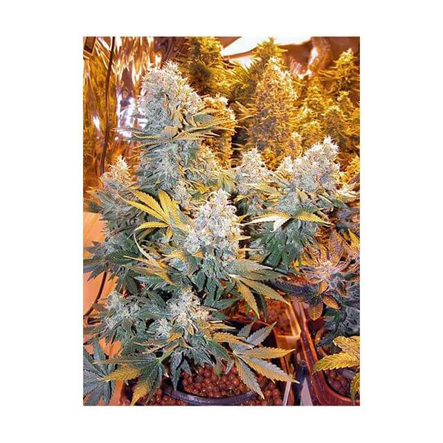 Buy Serious Seeds Double Dutch REG