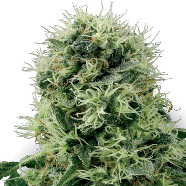 Buy Sensi White Label Seeds Pure Power Plant - PPP FEM