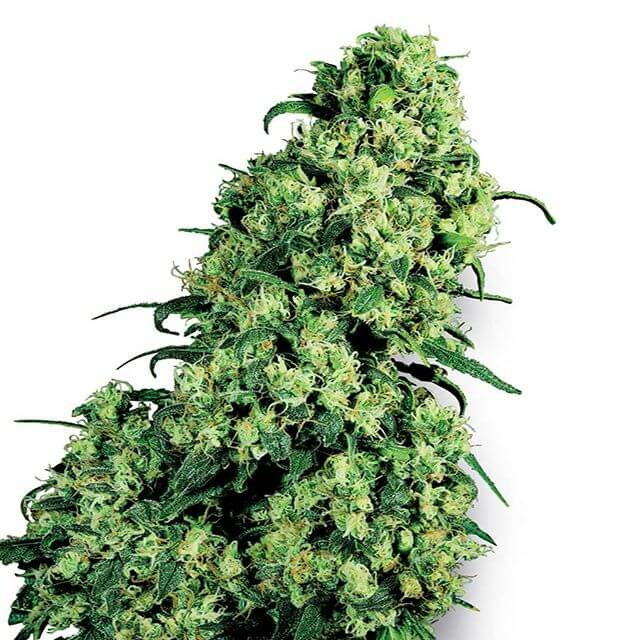 Buy Sensi White Label Seeds Skunk # 1  FEM