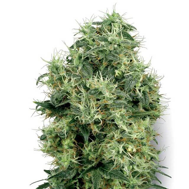 Buy Sensi White Label Seeds White Gold  FEM