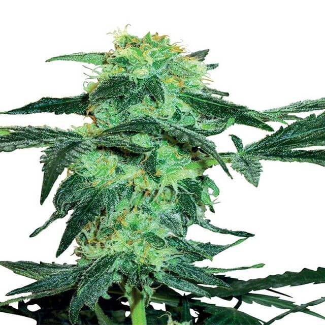 Buy Sensi White Label Seeds White Ice FEM