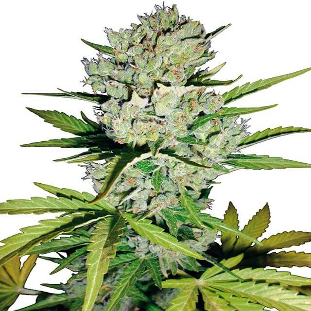 Buy Sensi White Label Seeds Super Skunk Auto FEM