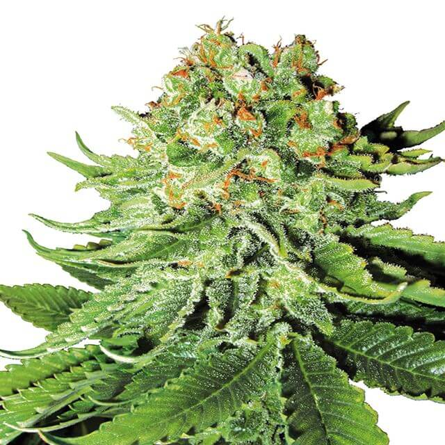 Buy Sensi White Label Seeds Northern Lights Auto FEM