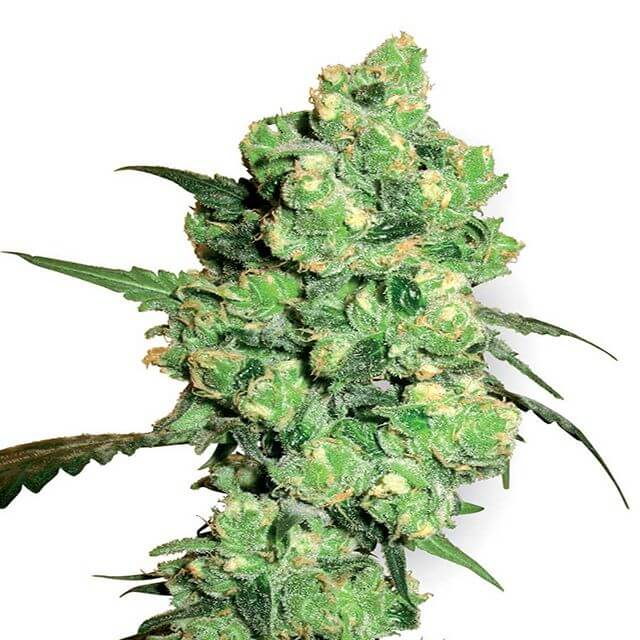 Buy Sensi White Label Seeds Super Skunk  FEM