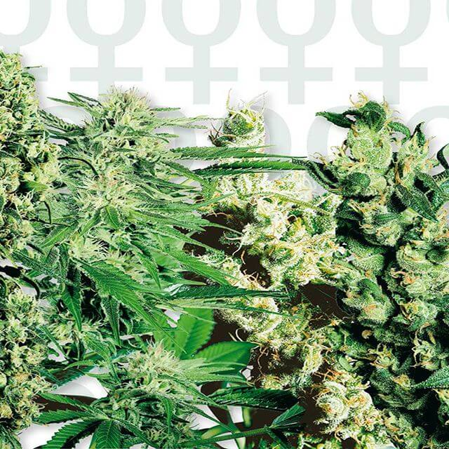 Buy Sensi Seeds Feminized Mix FEM