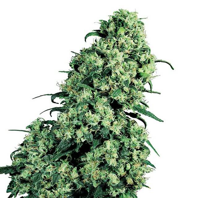 Buy Sensi Seeds Skunk # 1 FEM