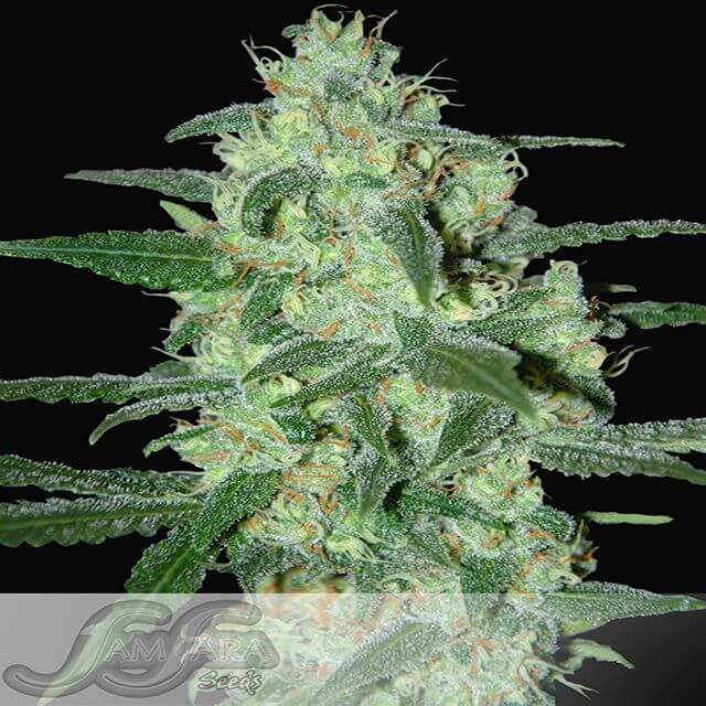 Buy Homegrown Fantaseeds  Thunder Bloody Mary  FEM