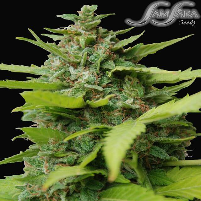 Buy Homegrown Fantaseeds  Kiss Dragon  FEM