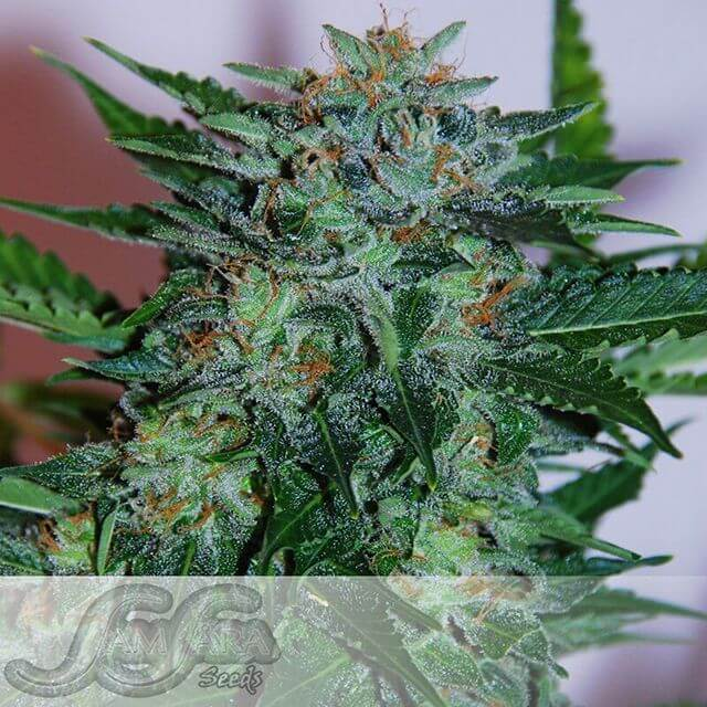 Buy Samsara Seeds Flash Babylon  FEM