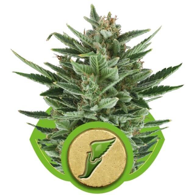 Buy Royal Queen Seeds Quick One  FEM