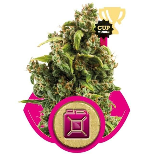 Buy Royal Queen Seeds Sour Diesel  FEM