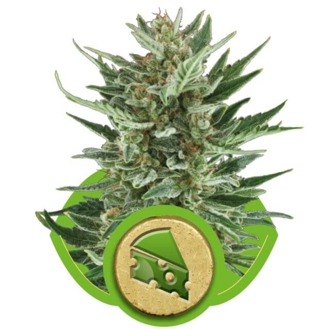 Buy Royal Queen Seeds Royal Cheese Automatic FEM