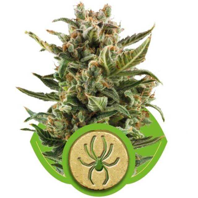 Buy Royal Queen Seeds White Widow Automatic FEM