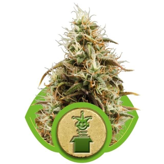 Buy Royal Queen Seeds Royal Jack Automatic FEM