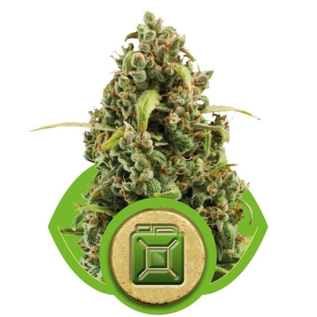 Buy Royal Queen Seeds Diesel Automatic FEM