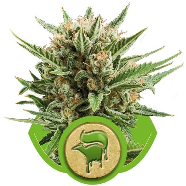 Buy Royal Queen Seeds Sweet Skunk Automatic FEM
