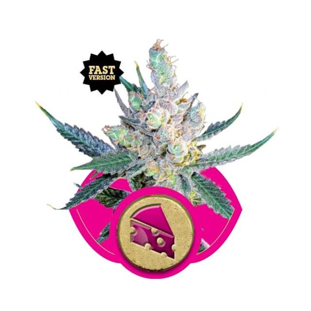 Buy Royal Queen Seeds Royal Cheese Fast FEM