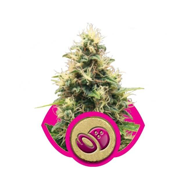 Buy Royal Queen Seeds Somango XL FEM
