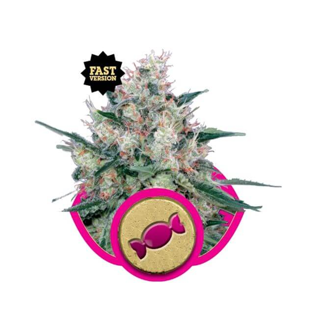 Buy Royal Queen Seeds Royal Caramel Fast FEM