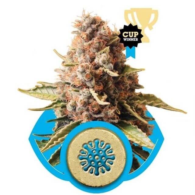 Buy Royal Queen Seeds Euphoria  FEM