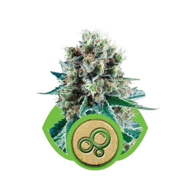 Buy Royal Queen Seeds Bubble Kush Automatic FEM