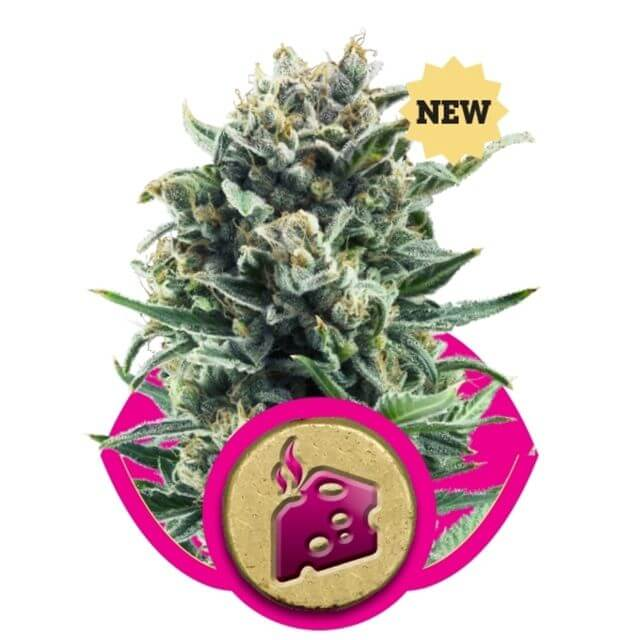 Buy Royal Queen Seeds Blue Cheese  FEM