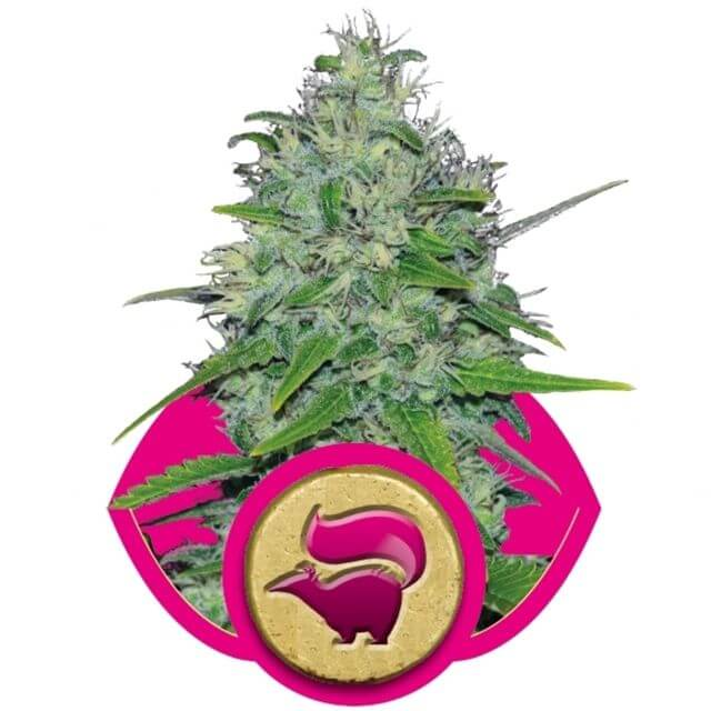 Buy Royal Queen Seeds Skunk XL FEM