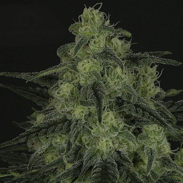 Buy Ripper Seeds Black Valley  FEM
