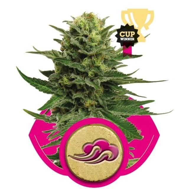 Buy Royal Queen Seeds Blue Mistic FEM