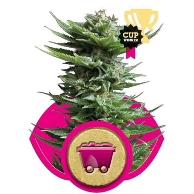 Buy Royal Queen Seeds Shining Silver Haze  FEM