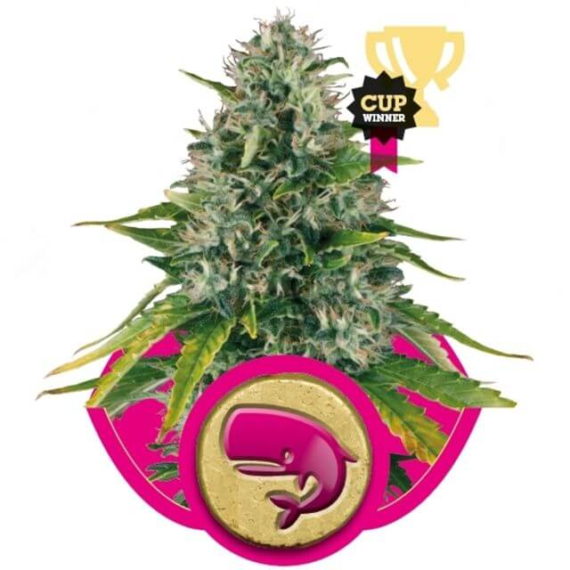 Buy Royal Queen Seeds Royal Moby  FEM