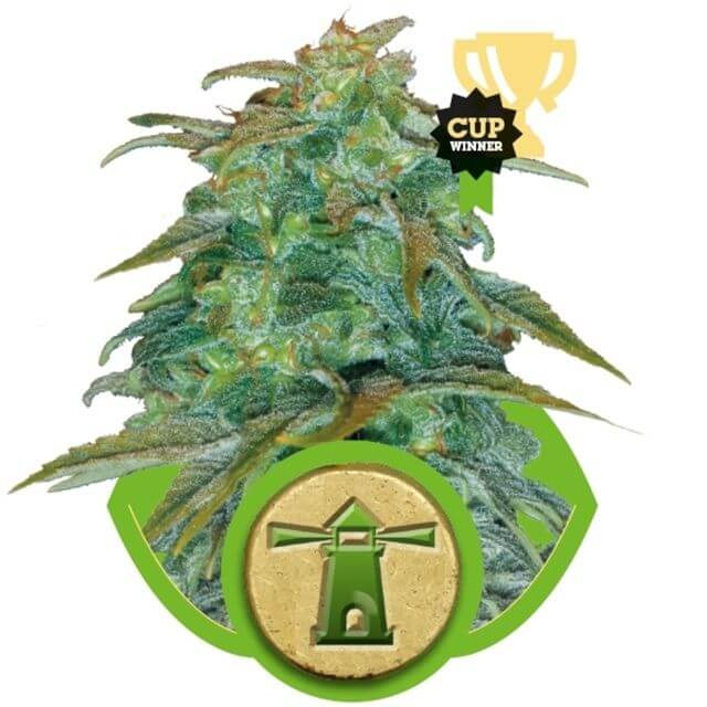 Buy Royal Queen Seeds Royal Haze Automatic  FEM