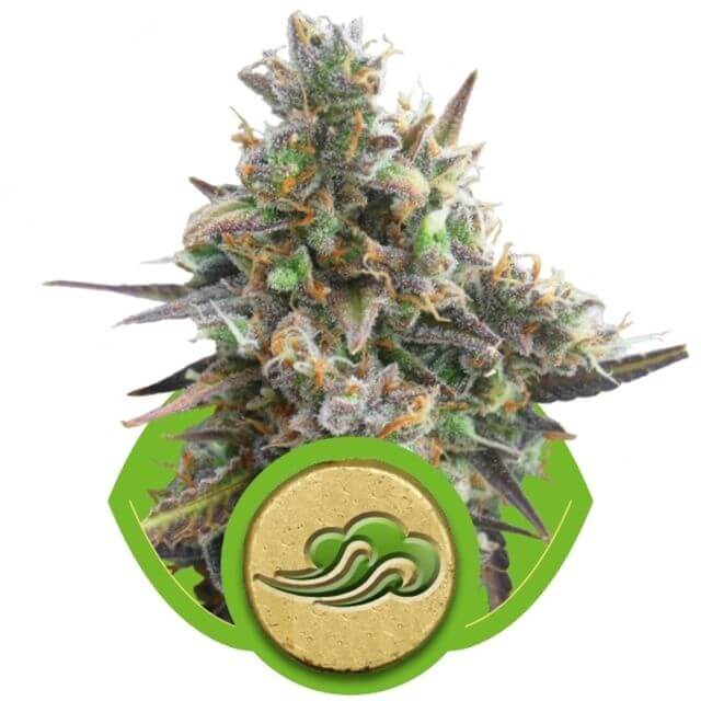 Buy Royal Queen Seeds Royal Bluematic  FEM
